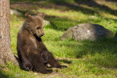 """Картина, постер, плакат, фотообои """"бурый медвежонок (ursus arctos) отдыхает на солнце постеры печать картины фото фотографии"""", артикул 11061558"""