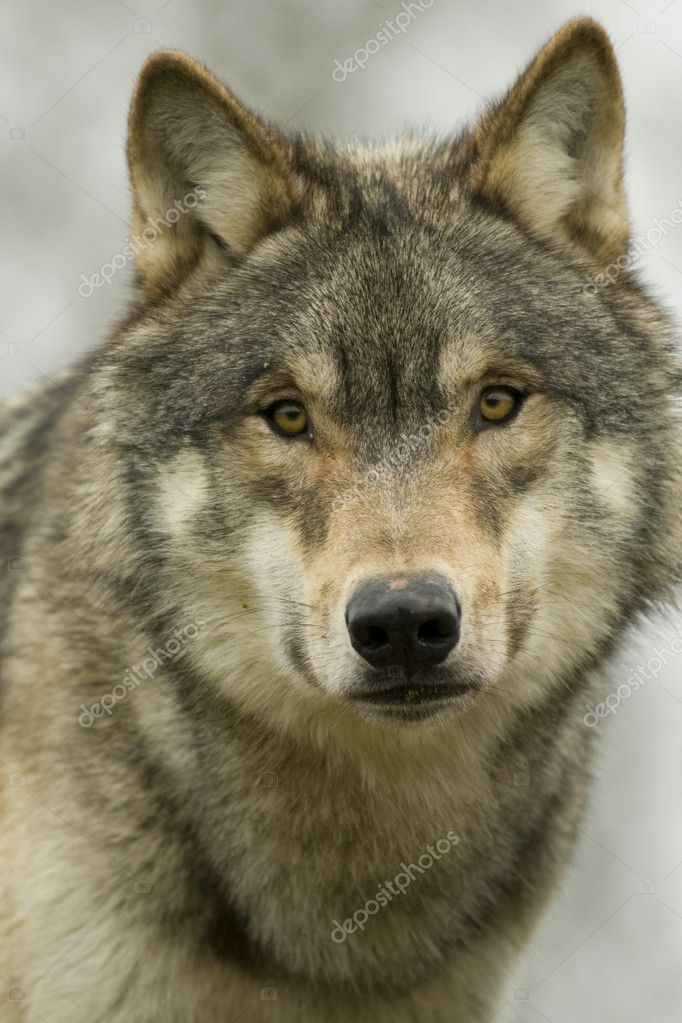 Young male North American Wolf