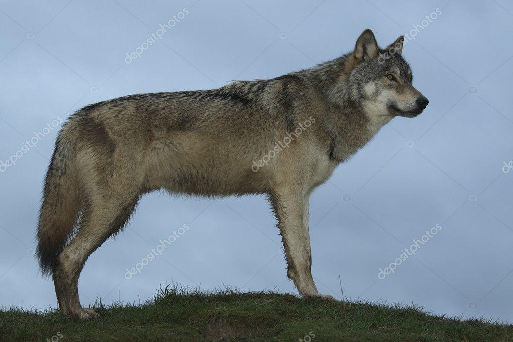 North American Wolf in winter coat