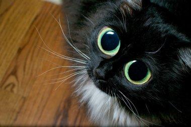Big eyed cat begging