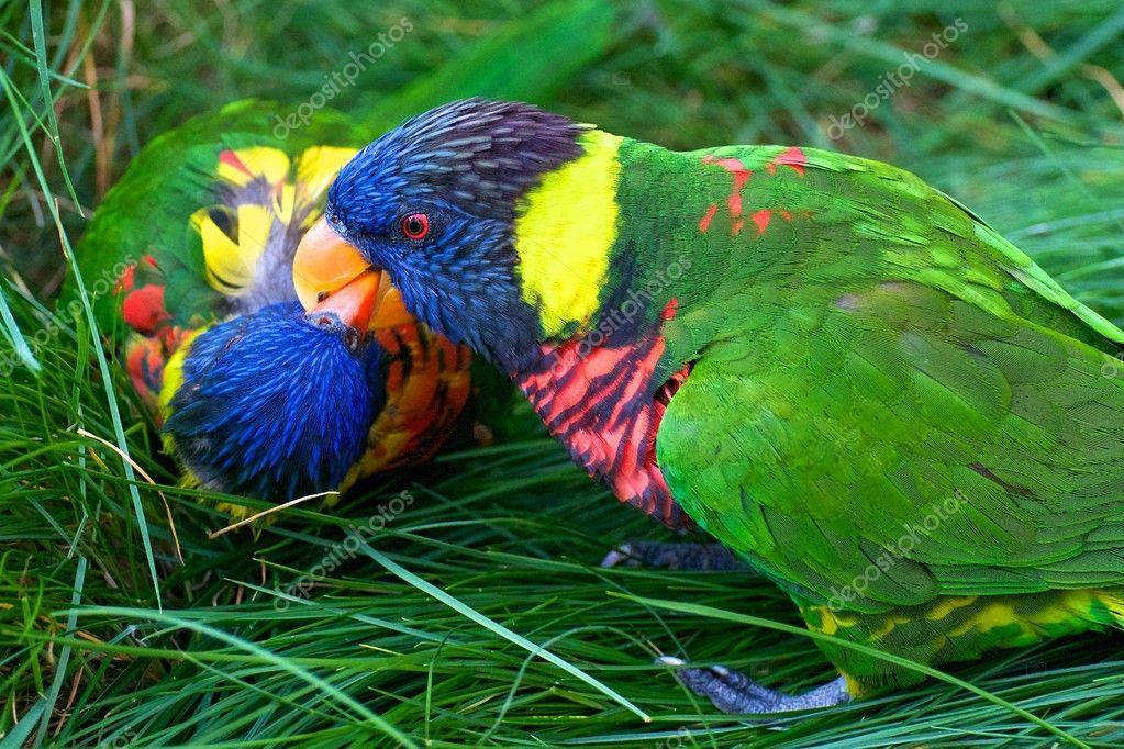 Kissing Rainbow Lorikeets