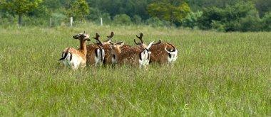 Herd of fallow deer on grass