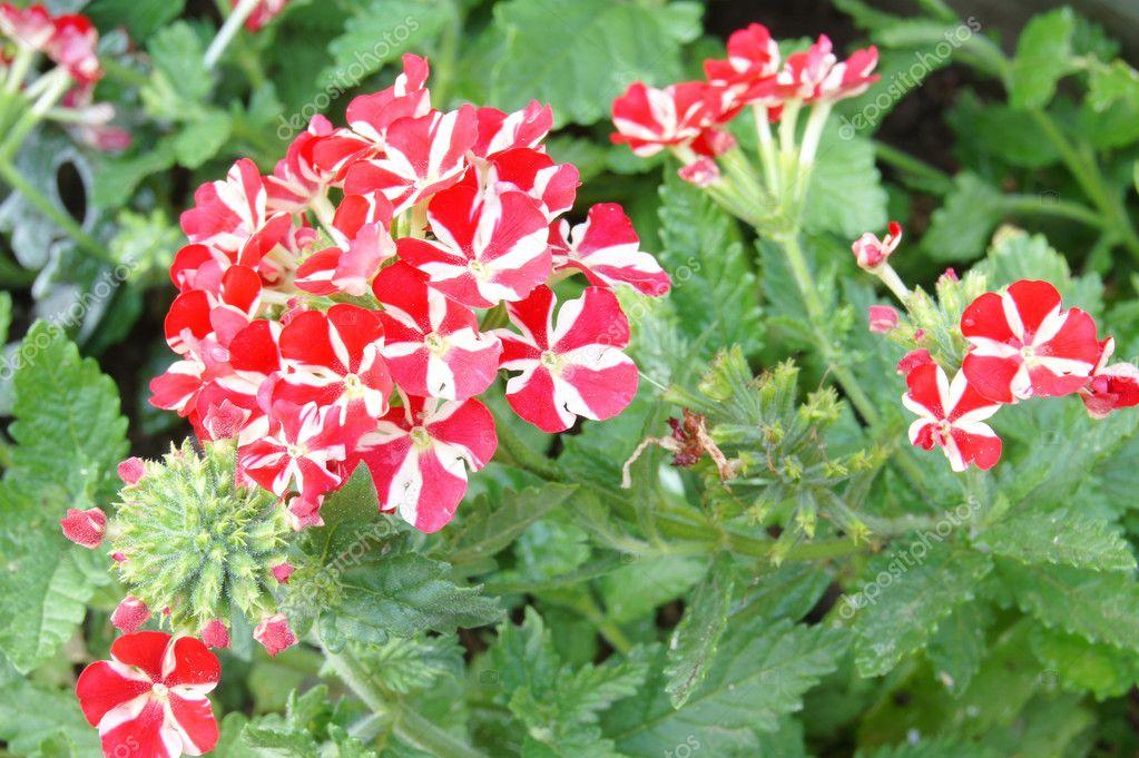 Verveine à fleurs rouges et blanches — Photographie valipatov ...