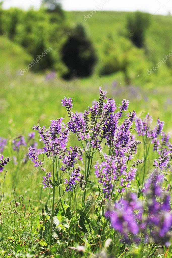 Fleur Mauve Sauvage Photographie Kostia777 C 11689962