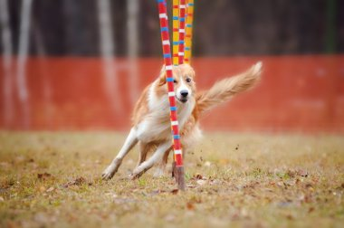 Funny dog in agility
