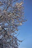 fiore fiore ad un albero in primavera in Portogallo contro un cielo blu