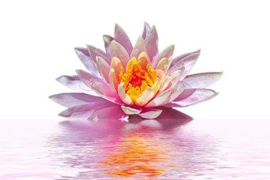 Beautiful pink lotus flower floating in water