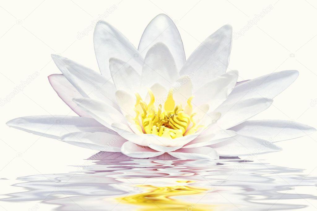 Beautiful white lotus flower floating in water stock photo beautiful white lotus flower floating in water photo by nilaya mightylinksfo