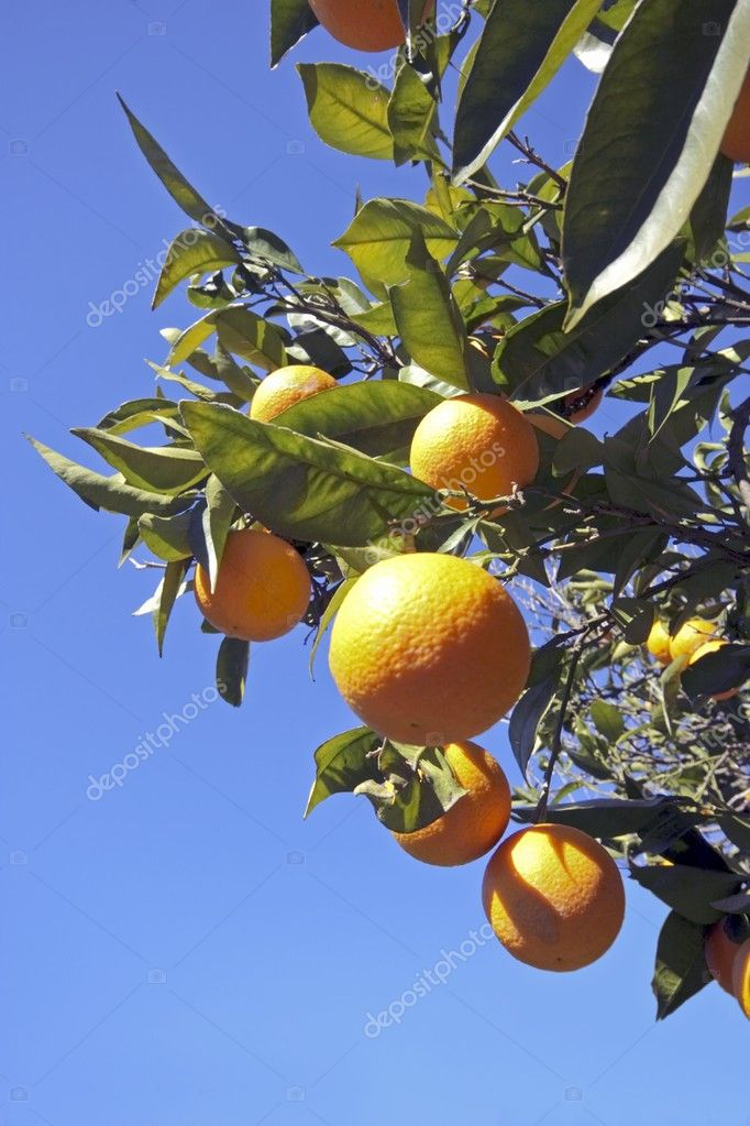 Oranges on a orange tree in springtime