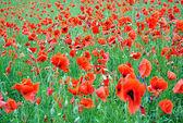 Poppy flowers on the field
