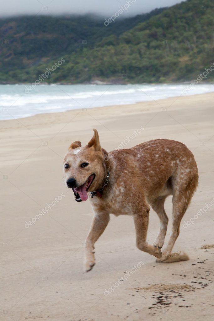 Red Heeler (Australian Cattle Dog) Running on the Beach