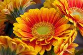 gerber narancssárga virágok