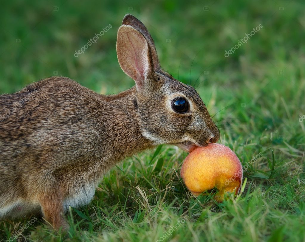 Cottontail rabbit eating fruit