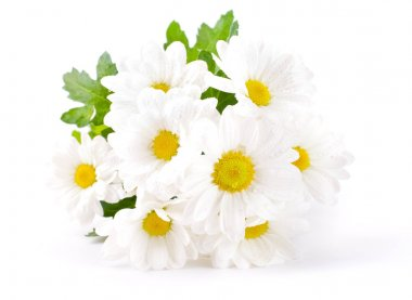 White flowers, field camomiles with green leaves on a white background