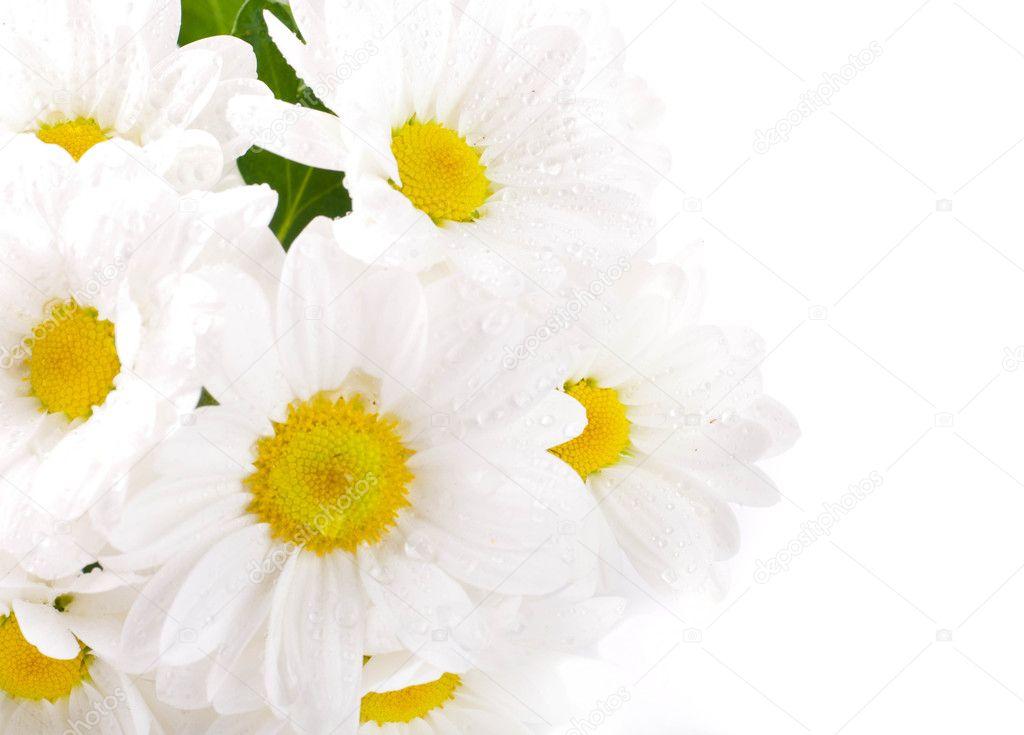 weiße Blumen, Feld Camomiles mit grünen Blättern auf einem weißen ...