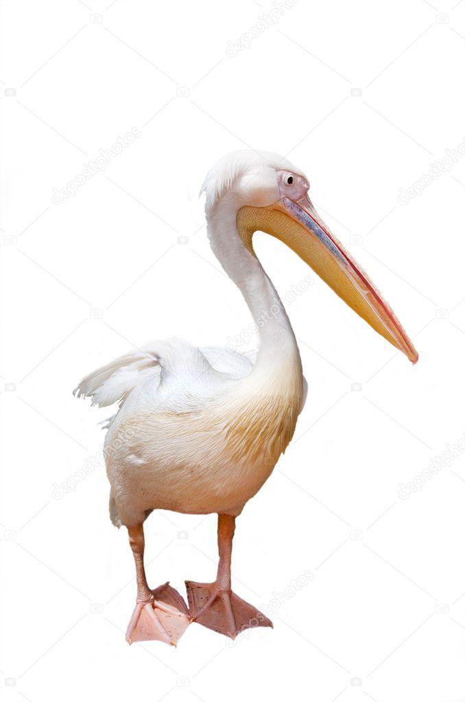 Tres pel cano pico y rosa sobre un fondo blanco fotos de - Fotos de pelicanos ...