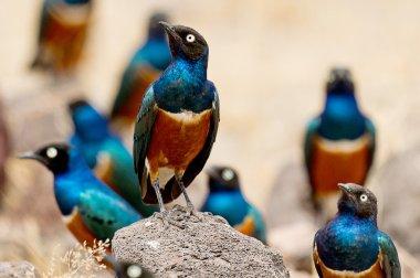 Superb Starling Bird in Serengeti, Africa