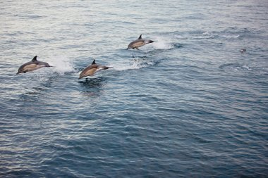 Several Dolphins Jumping