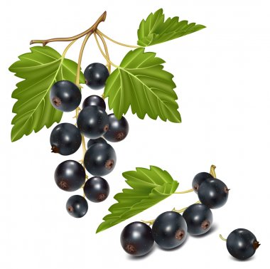 Black currant cluster with green leaves