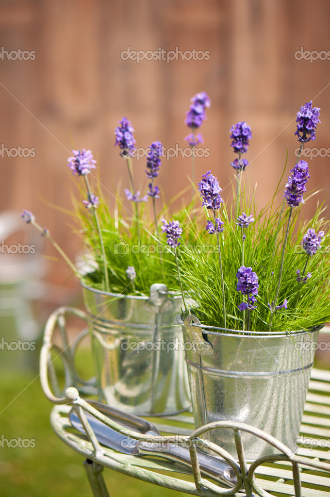 Garden Lavender