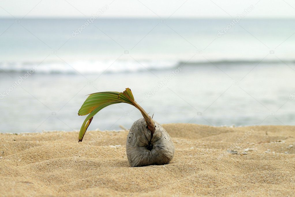 Coconut_on_the_beach