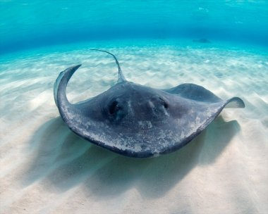 Southern Atlantic Stingray