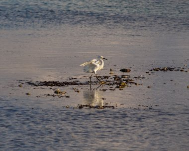 Young snowy egret bird