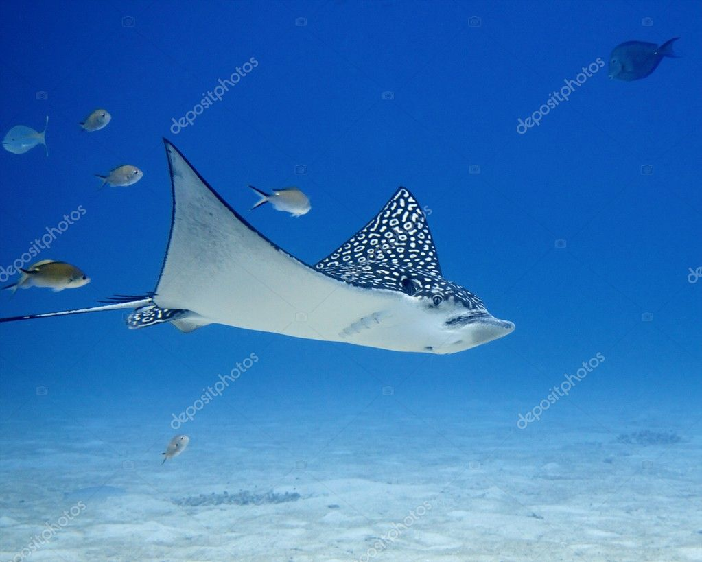 Spotted Eagle Ray (Aetobatus narinari) flying