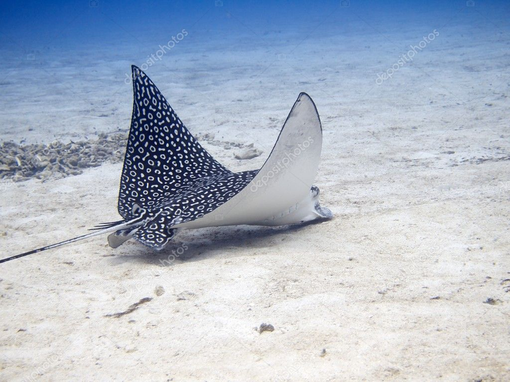 Spotted eagle ray coloring pages - Spotted Eagle Ray Aetobatus Narinari Feeding Stock Photo 11538801