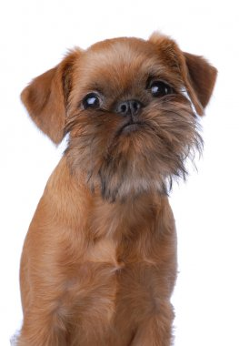 Smooth haired Brussels Griffon puppy