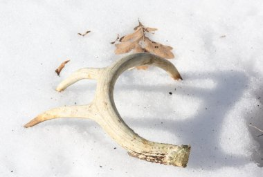 Shed Antler in Snow.