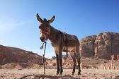 Photo Donkey in Petra, Jordan