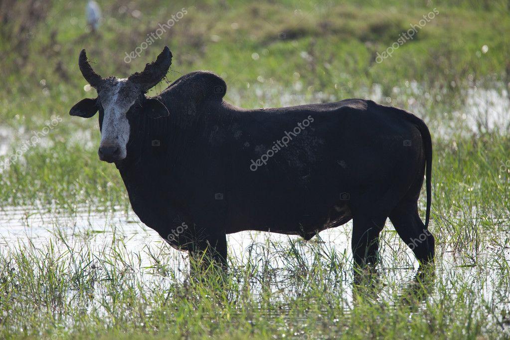Bull in swamp