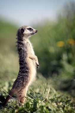 Meerkat stands on a rock