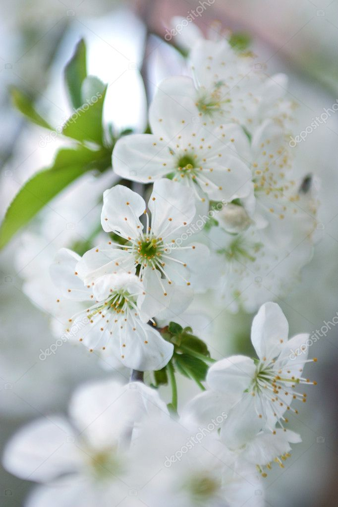 Blooming tree at spring fresh white flowers stock photo blooming tree at spring fresh white flowers on the branch of fruit tree photo by maximkostenko mightylinksfo