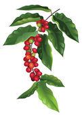 Fotografie Branch of coffee