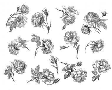 Old roses illustration