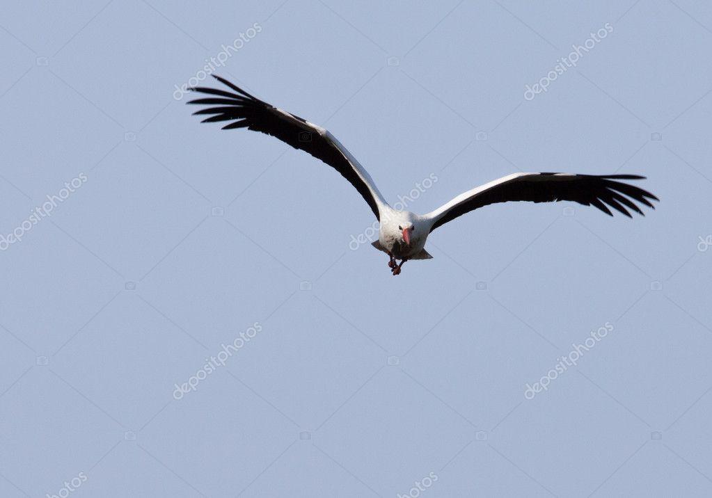 cegonha voando para o espectador stock photo ijdema 11949306