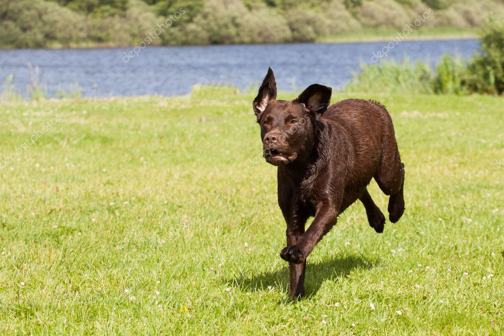 Brown labrador running