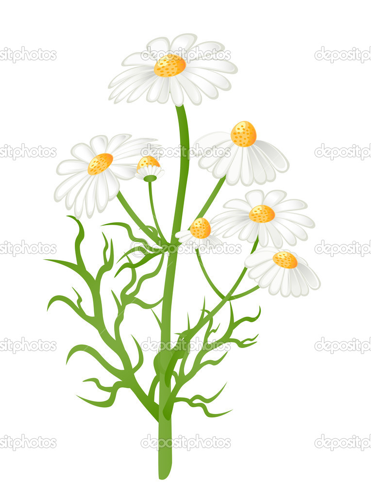 Camomile flowers. Vector-Illustration