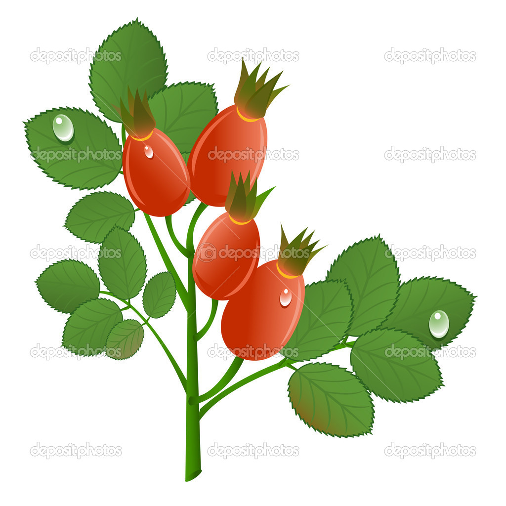 Branch of rose-hips on white background. Vector-Illustration
