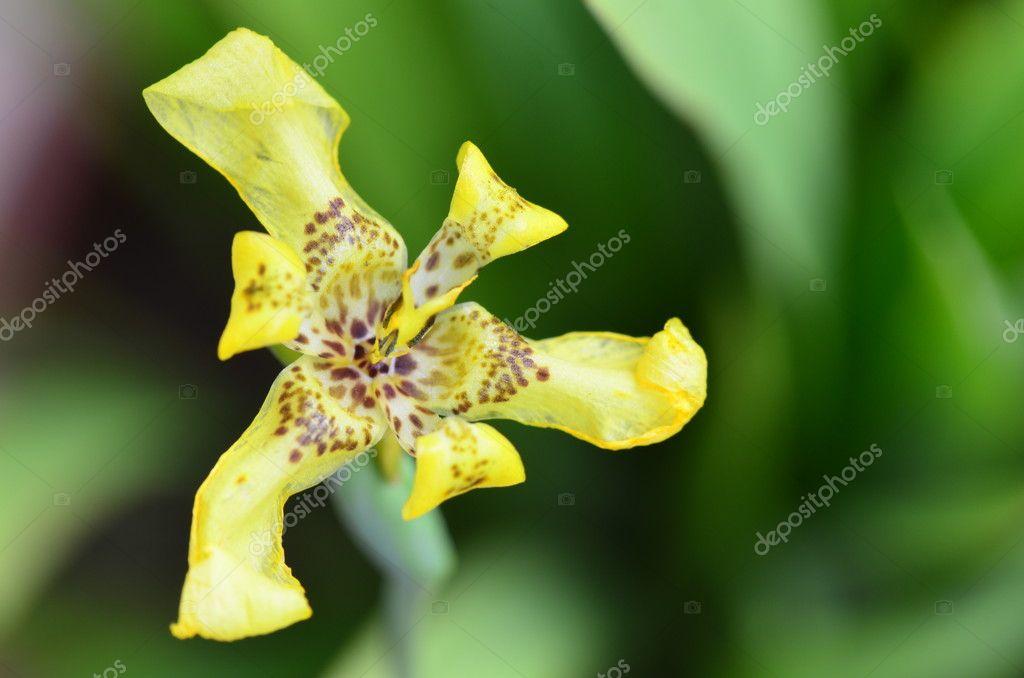 orchidee sauvage jaune