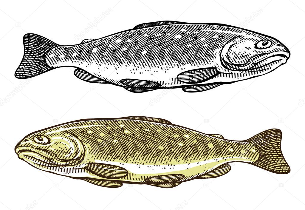 Vector illustration of Trout fish in vintage engraved style
