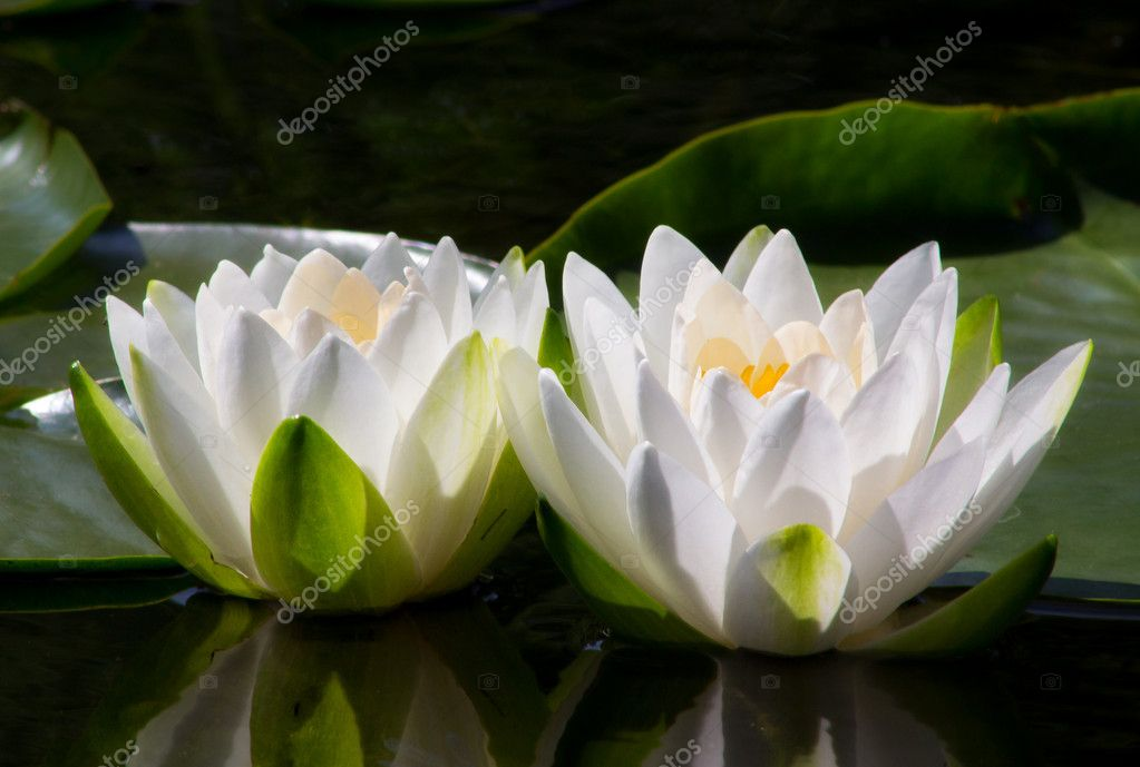Two Water Lilly Flowers