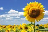 Fotografie slunečnicová pole