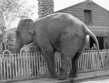 Elephant trying to cross over a picket fence