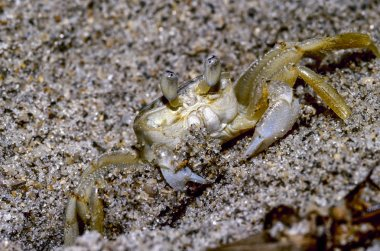 Atlantic Ghost Crab