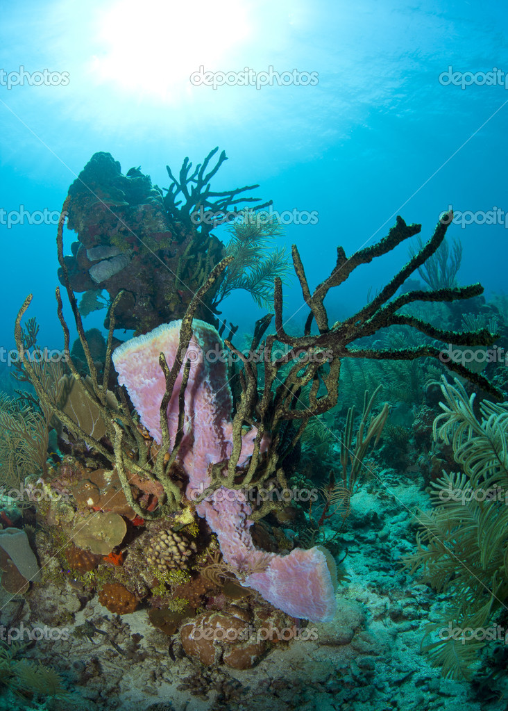 Coral Reef Purple Vase Sponge Stock Photo Johnanderson 12223849