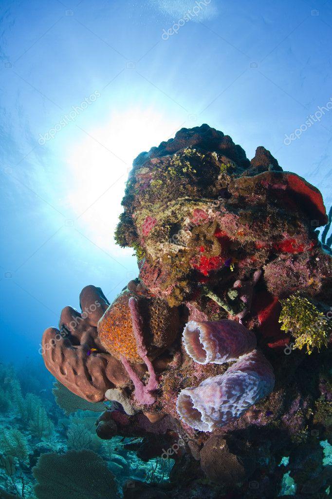 Coral Reef Purple Vase Sponge Stock Photo Johnanderson 12223867