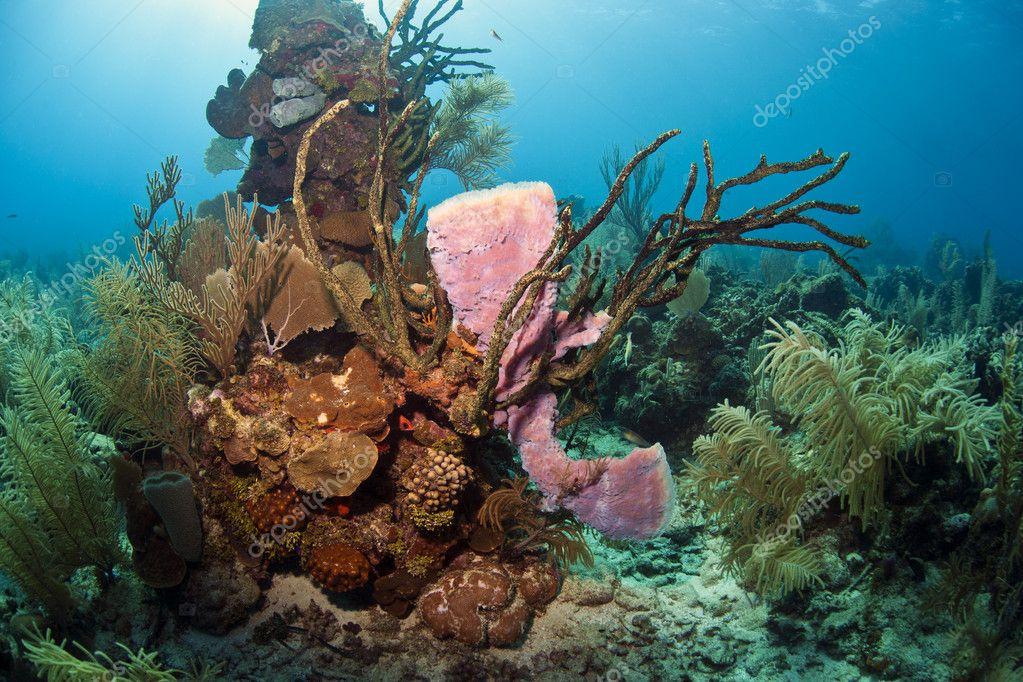 Purple Vase Sponge On Coral Reef Stock Photo Johnanderson 12247112